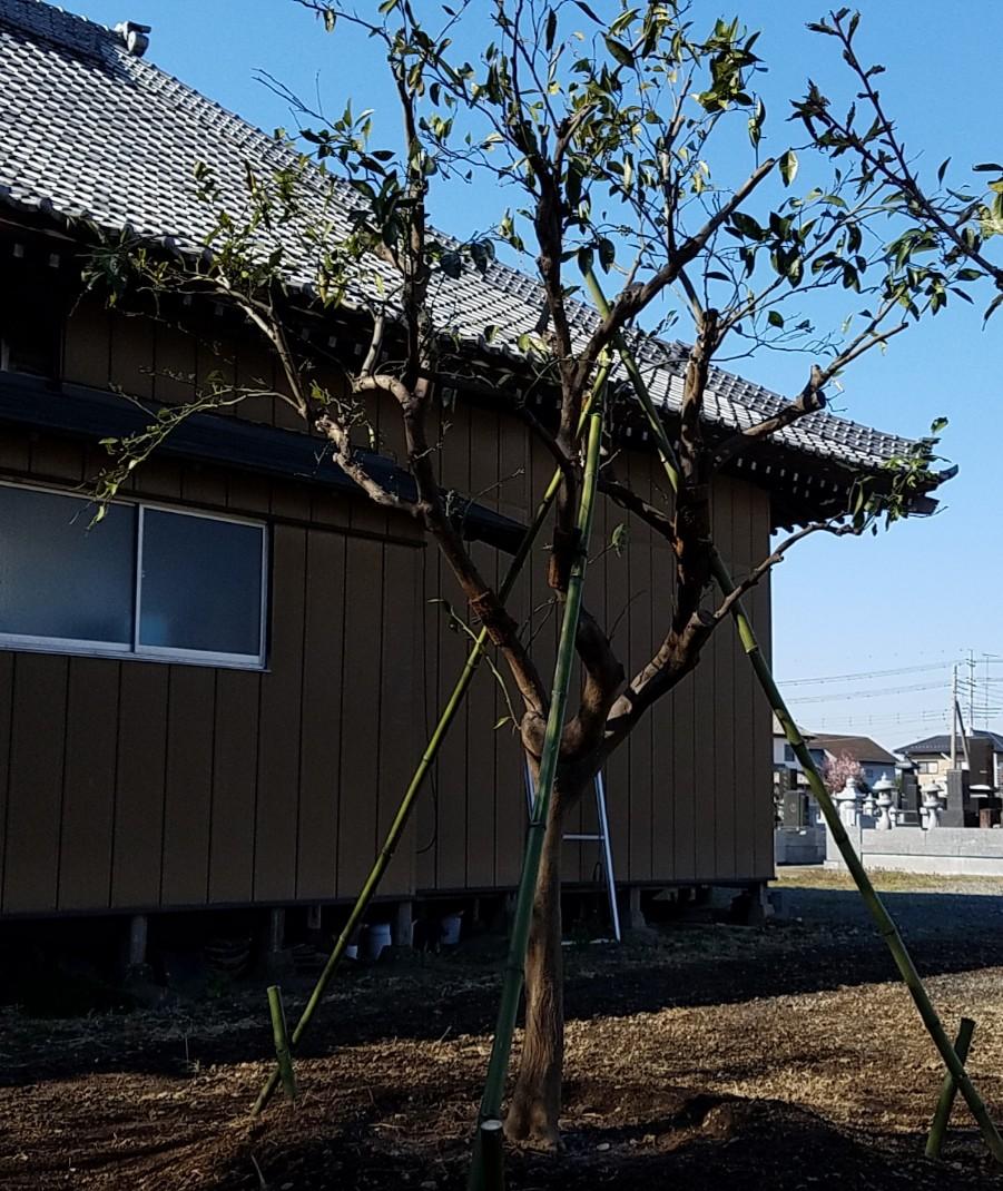 剪定 みかん の 木